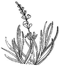 Lavender Flower For Aromatherapy Coloring Pages PagesFull
