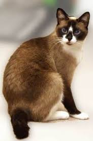 snowshoe cat american curl cat breeds cat animal and kitty