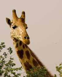 West African Giraffes Feed On A Variety Of Leaves And Shoots But The Bulk Their Diet Is Made Up Few Species Trees Bushes With Acacia
