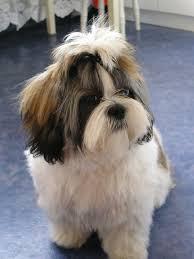 Adopt A Shih Tzu Adopt A Dog