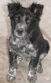 do blue heeler border collies shed border collie blue heeler cross this is my future pup can t
