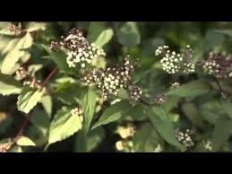 planting liatris spicata bulbs sms 085274437336 benihbunga