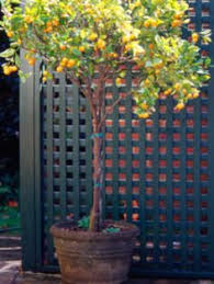 all you need to about hydroponics meyer lemon tree
