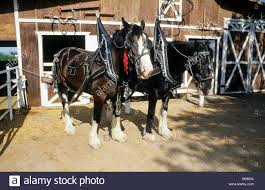 Clydesdale Horses In Harness In Front Of Their Barn On Farm Stock ... Just Horses In The Barn Horse Portraits Treading George Washingtons Mount Vernon How Your Horse Learns By Watching You Owners Resource In A Painted Petcustom Pet Patings Two Cadian And Snow Weather Stock Video Footage East Bay Real Estate The West Side Story Barns For Miniature Small Horizon Structures Cooling Horses Archives Windmill Ceiling Fans Offtopic Monday Photos Peace Love Fostering Arabian Stable Looking Over The Barn Door Nice Using Premise Sprays To Protect Absorbine