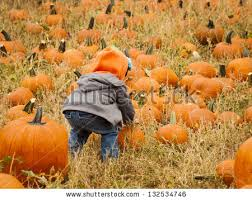 Pumpkin Patch Glendale Co by Little Kid Picking Pumpkin Pumpkin Patch Stock Photo 132534740