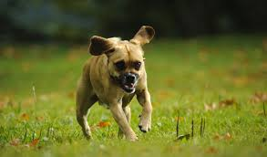 Do Pugs And Puggles Shed by Puggle Dog Breed Information