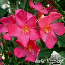 laurier papa gambetta nerium oleander pot de 3 litres