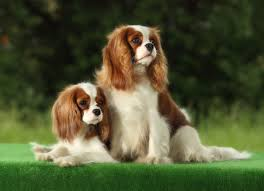 Non Shedding Dog Breeds Small by Cutest Dog Breeds Combinations Dog Breeds Puppies Best And