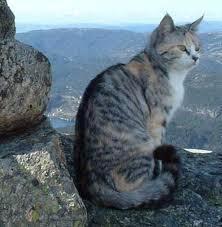 mountain cat cats lynx mountain cat