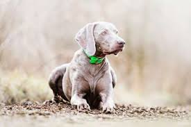 Do Long Haired Weimaraners Shed by 11 Noble Facts About Weimaraners Mental Floss