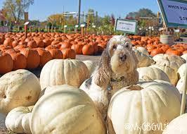 Pahls Pumpkin Patch by Pumpkin Shopping So Many Pumpkins So Little Time My Gbgv Life