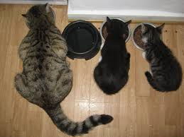 cat wont eat cat won t eat the pricey food you buy for iheartcats