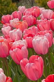 best 25 tulip bulbs for sale ideas on planting