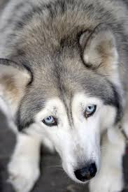when do huskies shed their coats pets