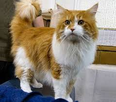 forest cat vs maine coon maine coon cats cat breed american forest cat american coon cat