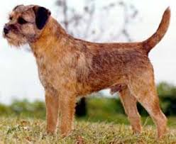 Border Terrier Non Shedding by Dogs U003e U003e Border Terrier Free Training Course On Border Terriers