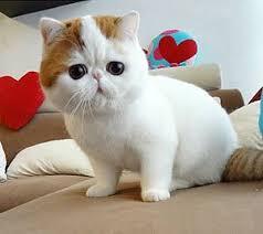 munchkins cats 52 best munchkin cats images on animals munchkin cat