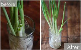 growing green onions in your kitchen huffpost
