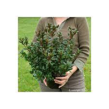 lot de 3 azalées japonaises manuska plantes et nature
