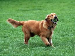 Top Dogs That Dont Shed Hair by Good Large Dog Breeds Maconbourgogne
