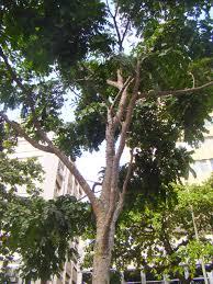 100 Pau Brazil Pin On TREES