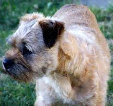 Border Terrier Non Shedding by About Border Terriers