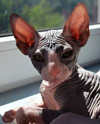 hairless cat price what to consider when buying a hairless sphynx cat