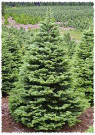 Types Of Christmas Trees To Plant by Types Of Christmas Trees Holidappy