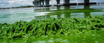 Bathtub Beach Stuart Fl by The Algae That Devastated Florida U0027s Coasts Also Contained 28 Kinds