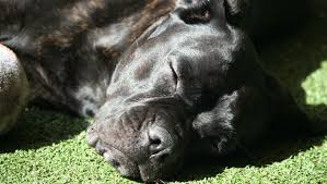 My Cane Corso Shedding A Lot by Best Dog Food For Cane Corsos Learn What Real Owners Feed Their