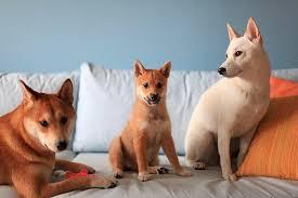 myshiba shiba inu puppies for sale information