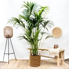 kentia palm 190 cm