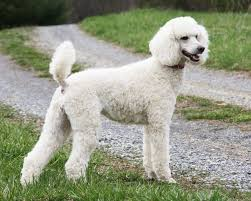do cavapoos shed a lot 8 answers what would be a hypoallergenic that does not