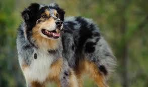 australian shepherd breed information