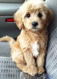cute non shedding dogs novaservis info