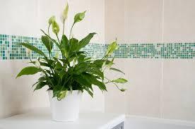 pflanzen fürs badezimmer mit und ohne fenster myhomebook