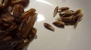 comment faire de la pate de datte pâte de dattes maison maghreb la tendresse en cuisine