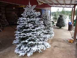 Snow Flocking For Christmas Trees by Christmas Flocked Christmas Trees Withal Tree Cheap There Are