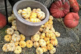 Varieties Of Pie Pumpkins by The Ultimate Guide To Pumpkin Types And Varieties