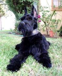 Do Giant Schnauzers Shed by Giant Schnauzer Dog Breed Information Puppies U0026 Pictures
