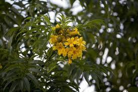 100 Pau Brazil Forest Yellow Flowers Brasil Tree Flrda Forest
