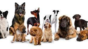 Hypoallergenic Dog Breeds That Dont Shed by Pet Allergy Are There Hypoallergenic Dog Breeds Home Instead