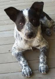Do Blue Heeler Border Collies Shed by This Is Kid He U0027s A Blue Healer Border Collie Mix He U0027s 4 Years