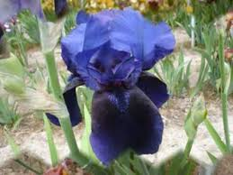 iris flower garden irises bulbs