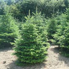Fraser Fir Christmas Trees Delivered by Non Drop Above 10ft Christmas Trees Delivered London