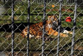 Tony, The Louisiana Truck-stop Tiger, Dies At Age 17