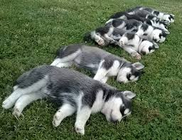 do huskies or malamutes shed more the siberian husky
