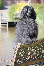 Portuguese Water Dog Non Shedding by Portuguese Water Dog Wikipedia