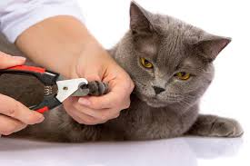 how to cut a cats nails cat s grooming introduction for newbies your cat