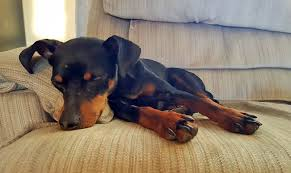 Do Miniature Doberman Pinschers Shed by 10 Lazy Dog Breeds Perfect For Apartment Living Point Ruston